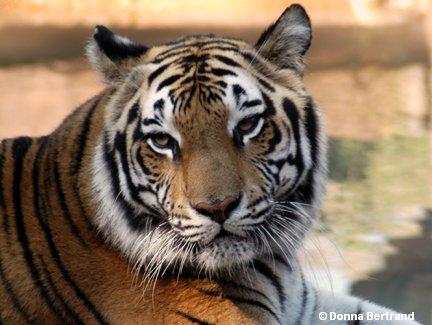 tiger14.jpg